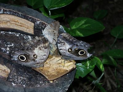 Owl butterflies feeding   (Dec 29, 2002, 01:16pm)