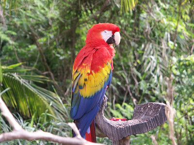 Red Macaw parrot   (Dec 29, 2002, 11:51am)