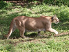 <b>Mountain lion at Xcaret</b>   (Dec 29, 2002, 01:32pm)