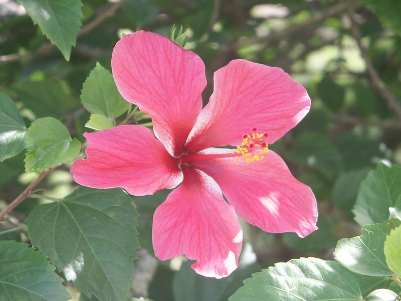 <b>Hibiscus flower</b>   (Dec 30, 2002, 01:04pm)