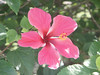 <b>Hibiscus flower</b>   (Dec 30, 2002, 01:04pm)