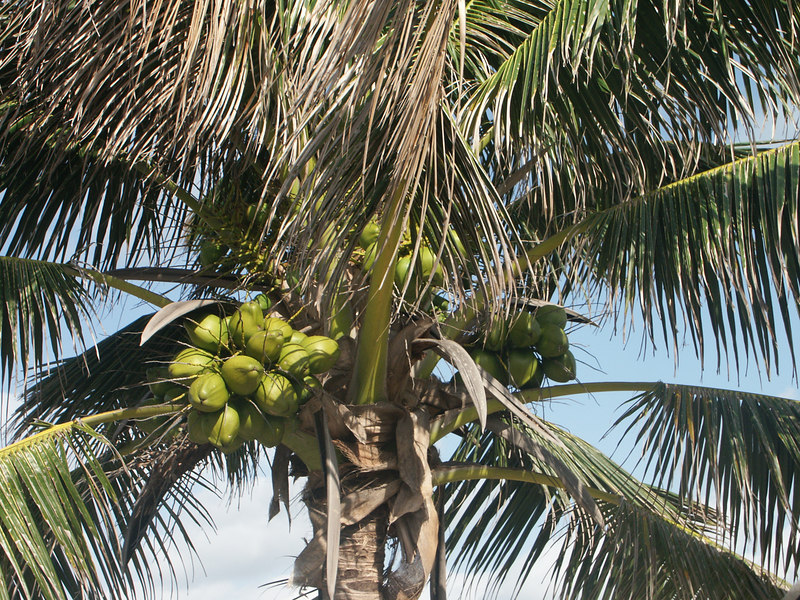 <b>Coconuts at Tulum</b>   (Dec 30, 2002, 09:27am)