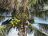<b>Coconuts at Tulum</b>   (Dec 30, 2002, 09:27am)