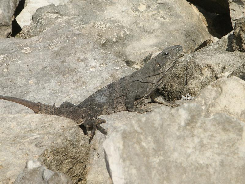 <b>Another iguana sunning himself</b>   (Dec 31, 2002, 09:31am)