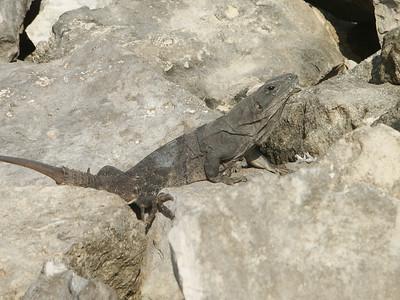 Another iguana sunning himself   (Dec 31, 2002, 09:31am)