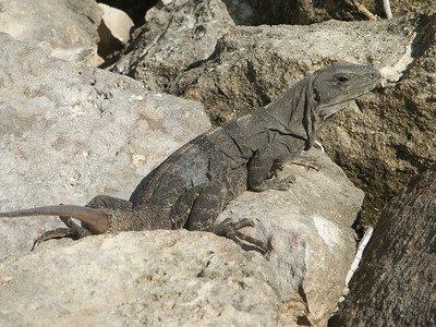 Another angle on the iguana   (Dec 31, 2002, 09:34am)