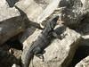 <b>Closer look at dark iguana</b>   (Dec 31, 2002, 09:28am)