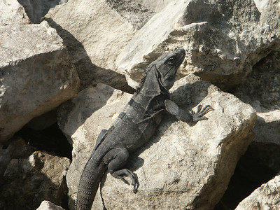 Closer look at dark iguana   (Dec 31, 2002, 09:28am)