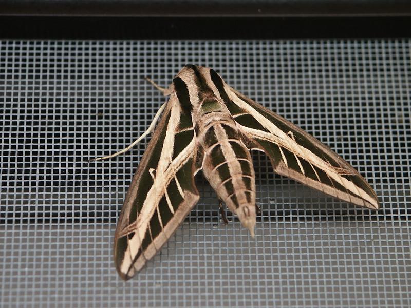 <b>Some type of moth on the screen door</b>   (Dec 31, 2002, 11:09am)