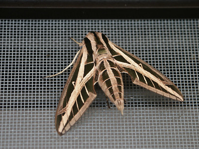 Some type of moth on the screen door   (Dec 31, 2002, 11:09am)