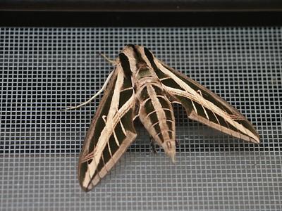 Some type of moth on the screen door   (Dec 31, 2002, 11:09am)