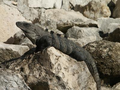 Iguana sunning himself   (Dec 31, 2002, 08:57am)