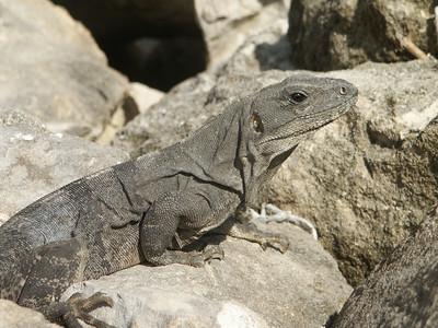 Close up of iguana   (Dec 31, 2002, 09:35am)