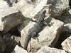 <b>Iguana sunning himself</b>   (Dec 31, 2002, 09:28am)