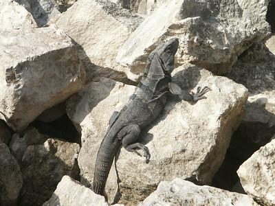 Iguana sunning himself   (Dec 31, 2002, 09:28am)