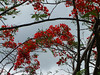 <b>Flamboyant Tree in Coral Bay</b>   (Jul 01, 2002, 09:28am)