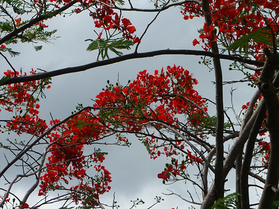 Flamboyant Tree in Coral Bay   (Jul 01, 2002, 09:28am)
