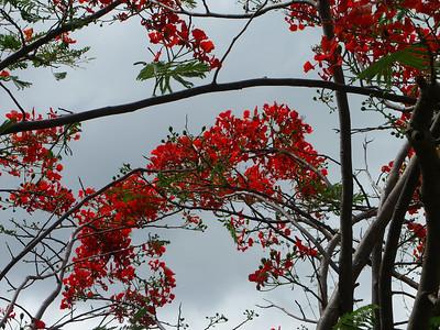 Flamboyant Tree in Coral Bay   (Jul 01, 2002, 09:28am)
