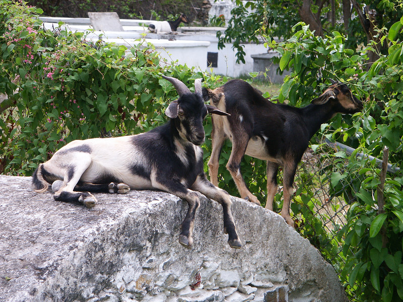<b>Just a few of the goats hanging out in Coral Bay</b>   (Jul 01, 2002, 09:31am)