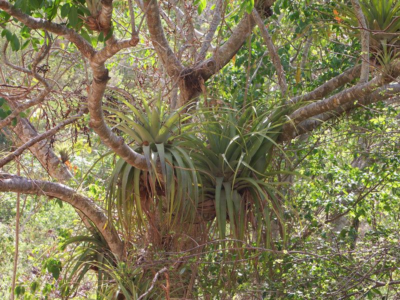 <b>Bromeliad plants living on other trees</b>   (Jul 01, 2002, 09:08am)