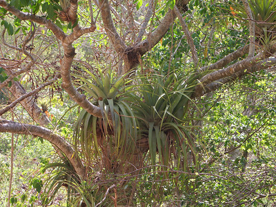 Bromeliad plants living on other trees   (Jul 01, 2002, 09:08am)