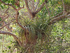 <b>Bromeliad plants living on other trees</b>   (Jul 01, 2002, 09:08am)