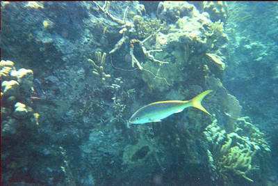 Yellowtail snapper at the Indians   (Jul 02, 2002, 10:00am)