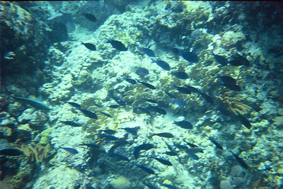 School of blue tang at the Indians   (Jul 02, 2002, 10:00am)