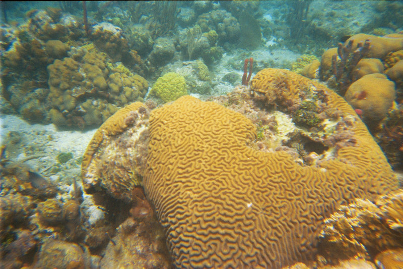 <b>Giant brain coral at Great Harbour</b>   (Jul 02, 2002, 03:00pm)