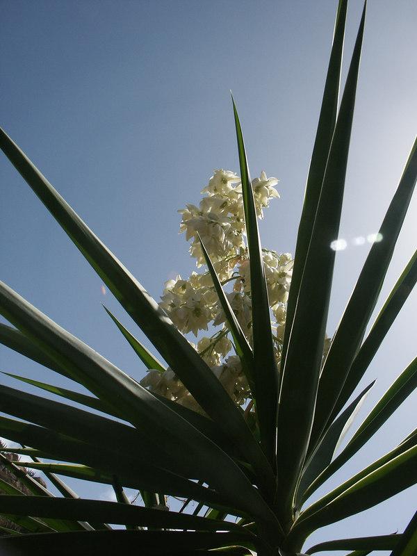 <b>Yucca plant</b>   (Jul 03, 2002, 09:20am)