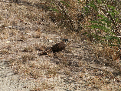 Falcon eating a lizard by the size of the road   (Jul 03, 2002, 09:10am)