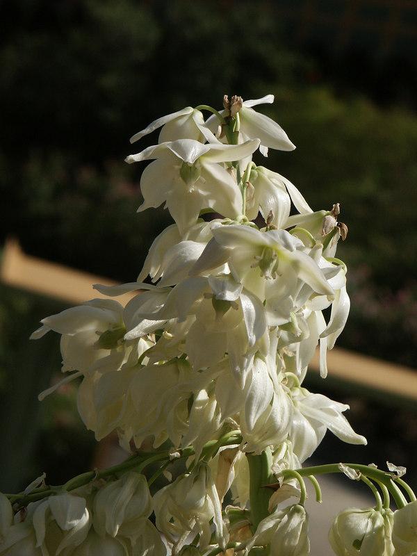 <b>Yucca flowers</b>   (Jul 03, 2002, 09:25am)