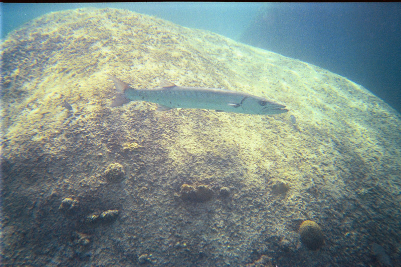<b>Great barracuda hanging around near the Baths</b>   (Jul 03, 2002, 03:00pm)
