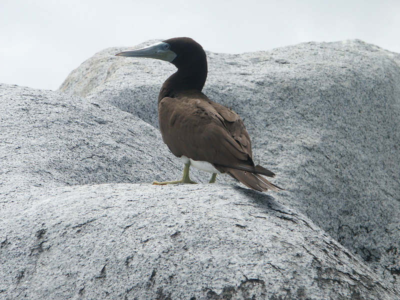 <b>Brown Booby in profile</b>   (Jul 04, 2002, 10:53am)