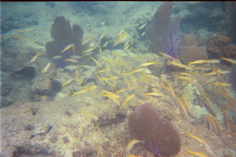 <b>School of young Yellowtail Snappers at Cinnamon</b>   (Jul 04, 2002, 05:00pm)
