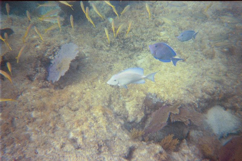 <b>Blue tangs at Cinnamon Bay</b>   (Jul 04, 2002, 05:00pm)