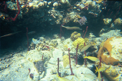 Trumpetfish, sargeant major, and smallmouth gru   (Jul 05, 2002, 03:00pm)