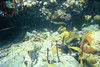 <b>Trumpetfish, sargeant major, and smallmouth gru</b>   (Jul 05, 2002, 03:00pm)