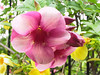 <b>Purple Allamanda</b>   (Jun 29, 2002, 07:27am)