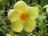 <b>Yellow Allamanda</b>   (Jun 29, 2002, 07:26am)