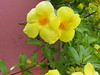 <b>Yellow Allamanda flowers</b>   (Jun 29, 2002, 07:49am)