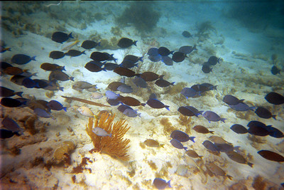 Blue Tangs and One Trumpet Fish   (Dec 25, 2000, 02:00pm)