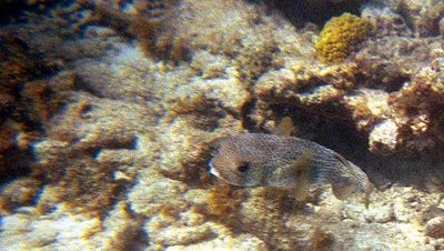 Balloonfish Going   (Dec 25, 2000, 02:00pm)