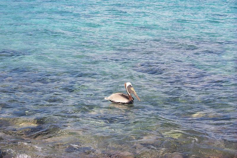<b>Pelican in Waterlemon Bay</b>   (Dec 26, 2000, 01:09pm)