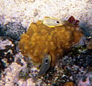 <b>Four Eyed Butterflyfish</b>   (Dec 26, 2000, 11:30am)