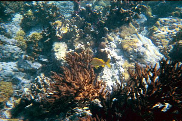 <b>Grunt in Soft Coral</b>   (Dec 26, 2000, 11:30am)