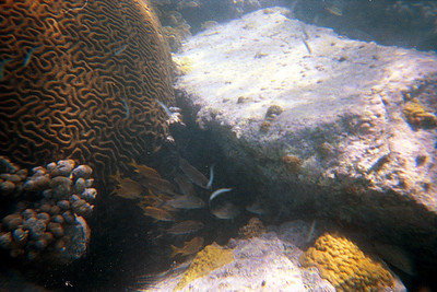 Grunts near Giant Brain Coral   (Dec 28, 2000, 12:00pm)