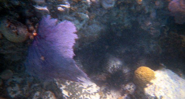 <b>Purple Sea Fan</b>   (Dec 28, 2000, 12:00pm)