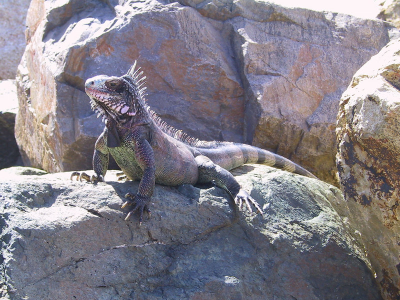 <b>Iguana By Frenchman Reef Dock</b>   (Dec 29, 2000, 01:20pm)