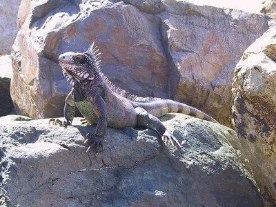 Iguana By Frenchman Reef Dock   (Dec 29, 2000, 01:20pm)